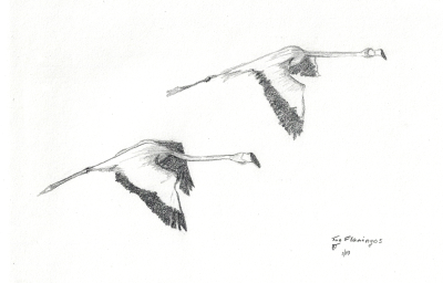 """Two Flamingos"" 2003, pencil. A study in preparation for a watercolor work I later gave my mother. I'll share it if it ever resurfaces, haha."